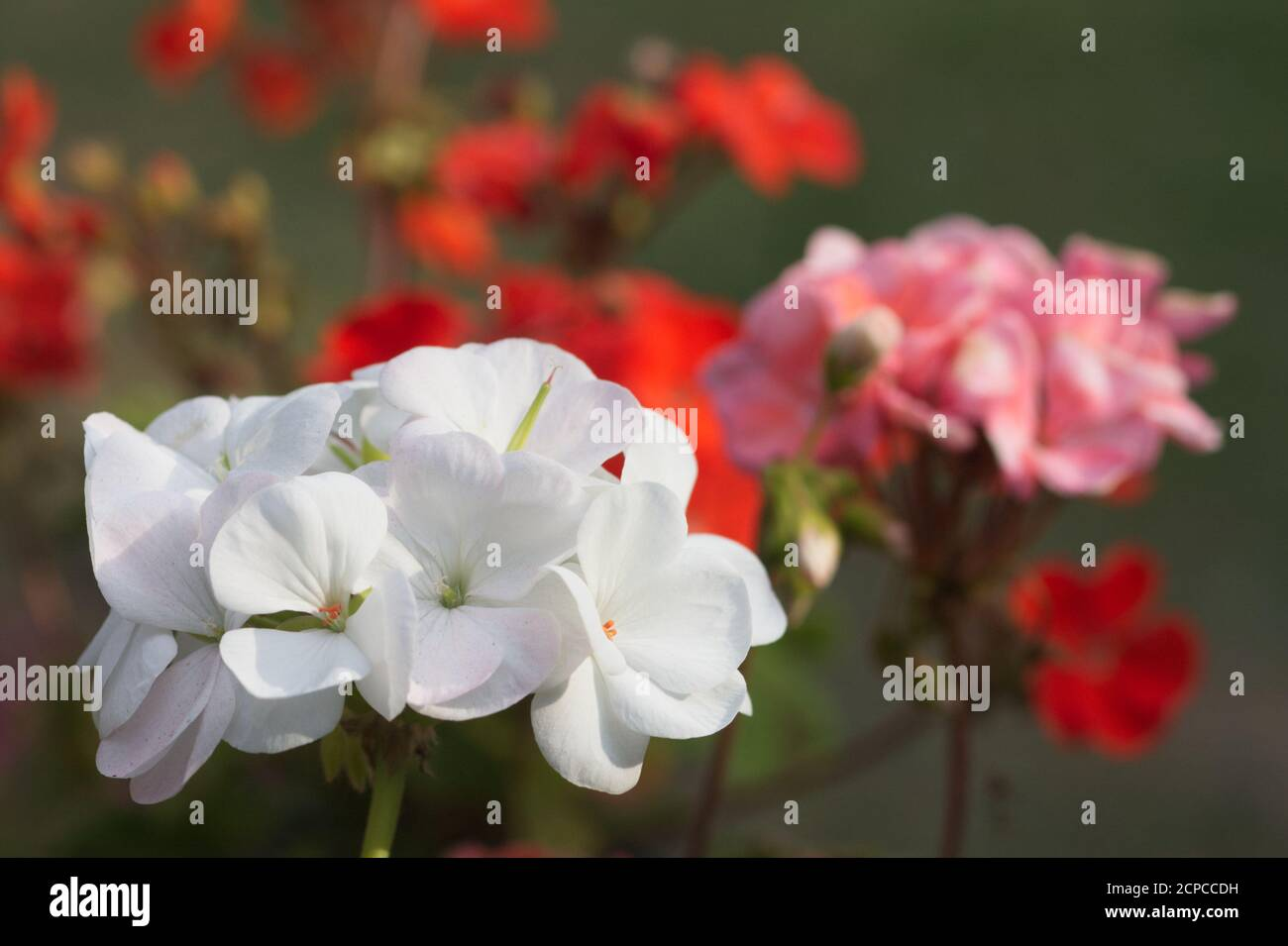 Close-up of white zonal Pelargonium flower against a background of red and pink Pelargoniums Stock Photo
