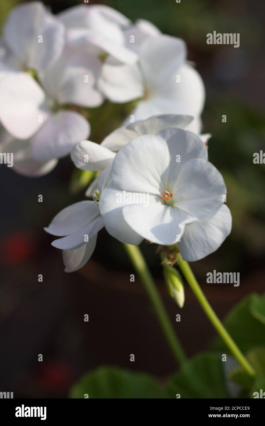Close-up of white zonal Pelargonium flower against a dark background Stock Photo