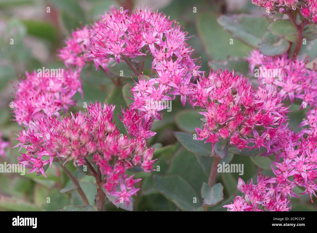 Hylotelephium spectabile or sedum plant in flower, autumn UK Stock Photo