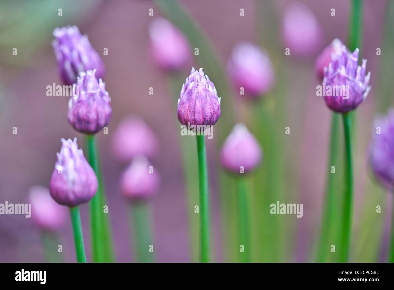 Purple pink flowers of perennial chives herb plant in the garden Stock Photo