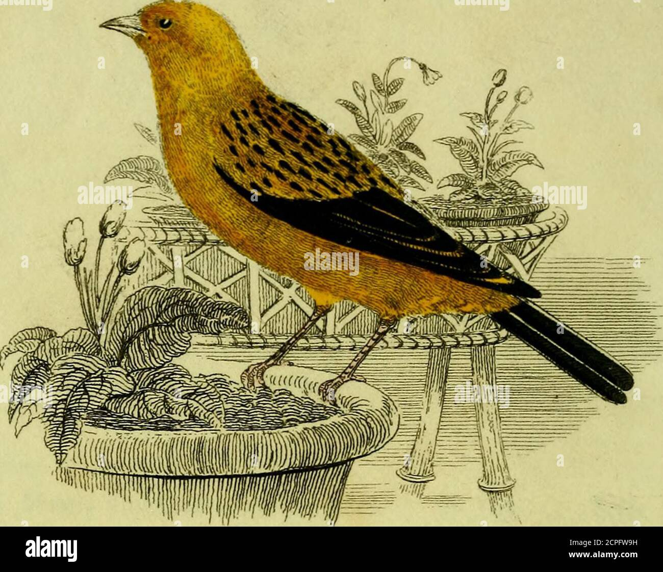 . A practical treatise on British song birds : in which is given every information relative to their natural history, incubation, &c. : together with the method of rearing and managing both old and young birds / . llowing treatise,as showing either elegance of thought, orpurity of diction, but merely as the resultof many years experience, which, from timeto time, I have put together at my leisuremoments. JOSEPH NASH. 39, Great Windmill Street,Haymarket. 3Iayl, 1824. TABLE OF CONTENTS. The Canary page 1 The Goldfinch 30 The Bullfinch 34 The Linnet 38 The Aberdevine 43 The Redpole 45 The Blackbi Stock Photo