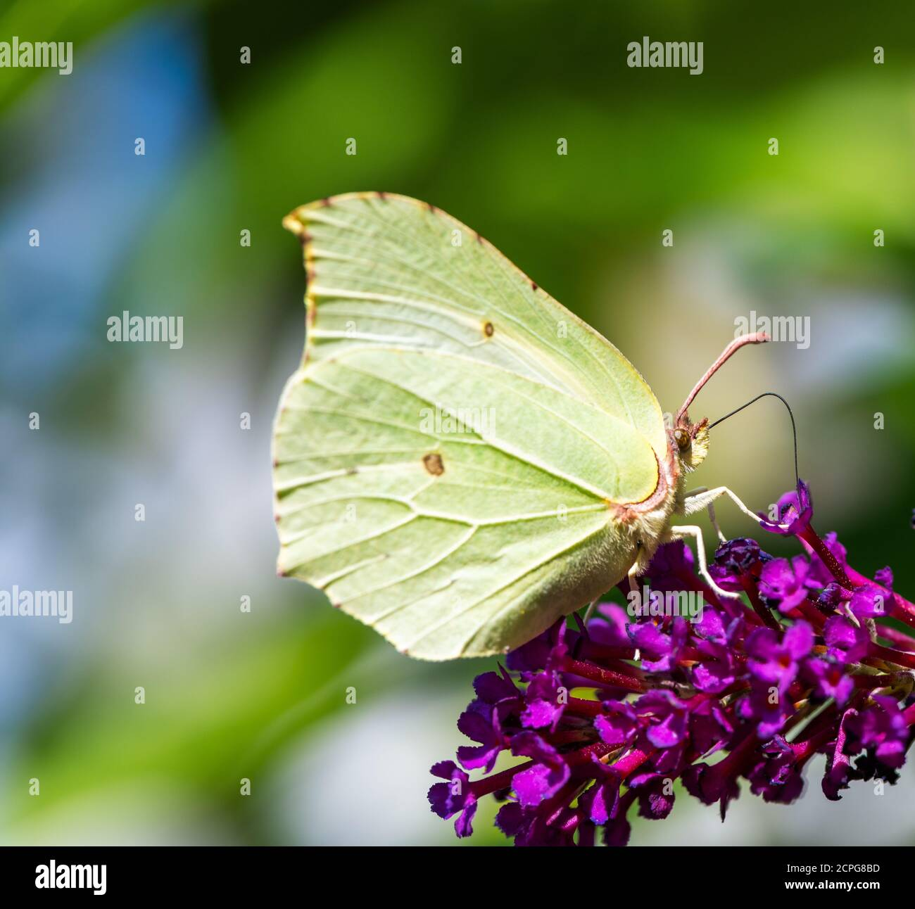 Brimstone butterfly on the blossoms of a buddleia bush Stock Photo