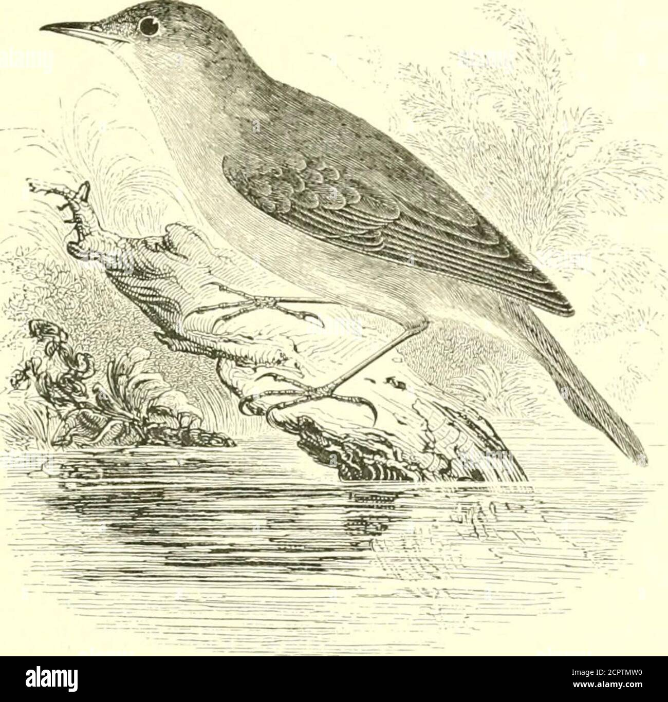 . An illustrated manual of British birds . an see no reason for supposingthe bird to be more of a mocker than the Song-Thrush or the Night-ingale. When the nest is approached a soft pi-ti-u-y is uttered ;the alarm-note being an angry tek, tek, fek. The food of the IcterineWarbler is principally insects and small snails, -but in summer andautumn fruit and berries are freely consumed. The adult male in spring has the lores and a streak over the eyeyellow ; upper parts greyish-olive ; quills brown, broadly marginedand tipped with bufiish-white on the secondaries ; tail brown, slightlytipped with Stock Photo