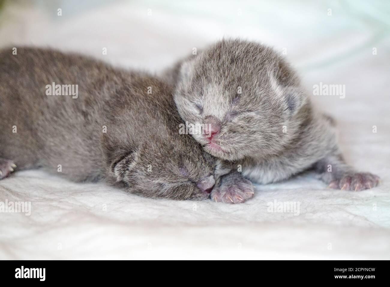 New Born Scottish Fold Kittens On White Background Close Up View Stock Photo Alamy