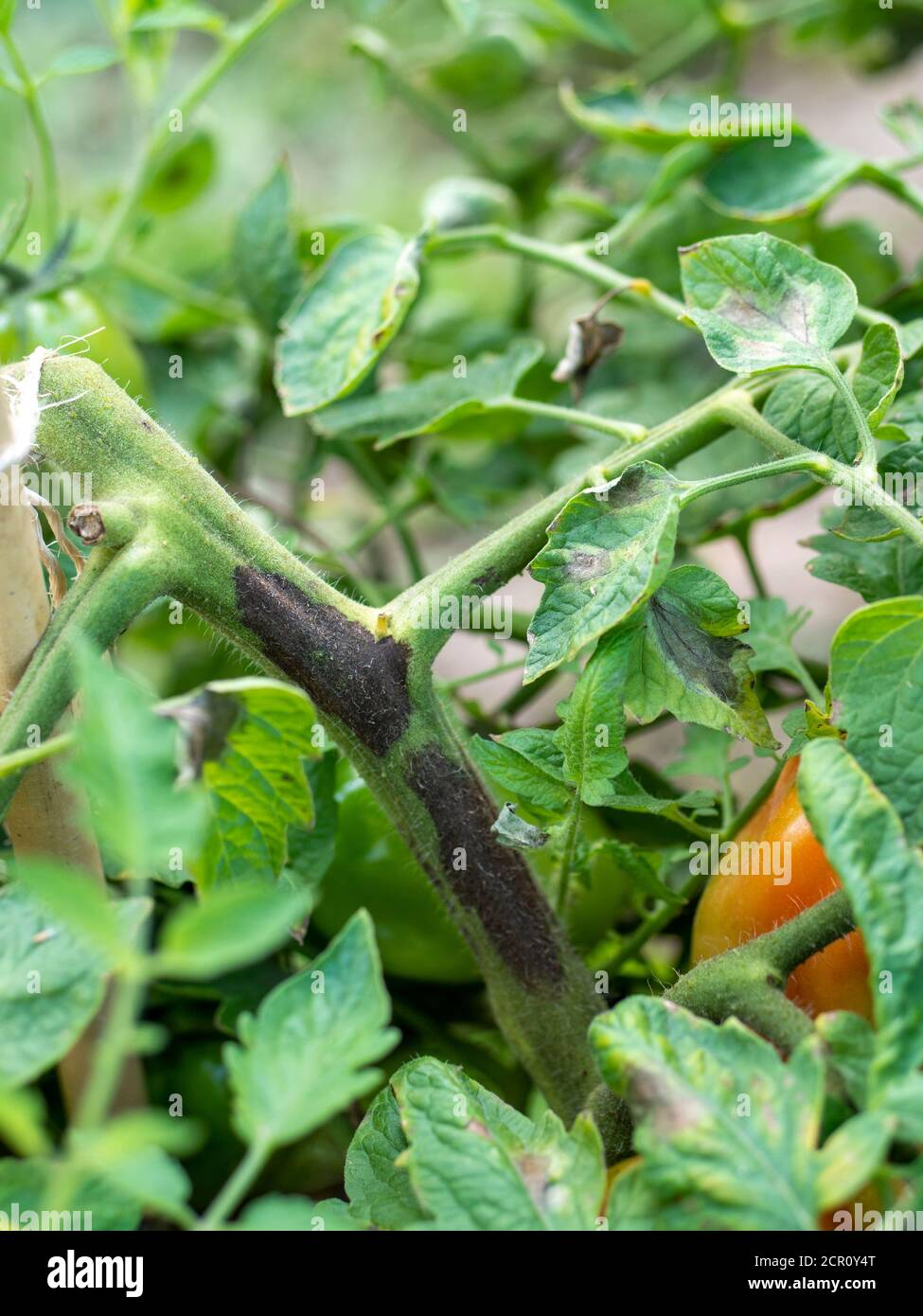 Tomato stem rot caused by the fungus  Didymella lycopersici Stock Photo