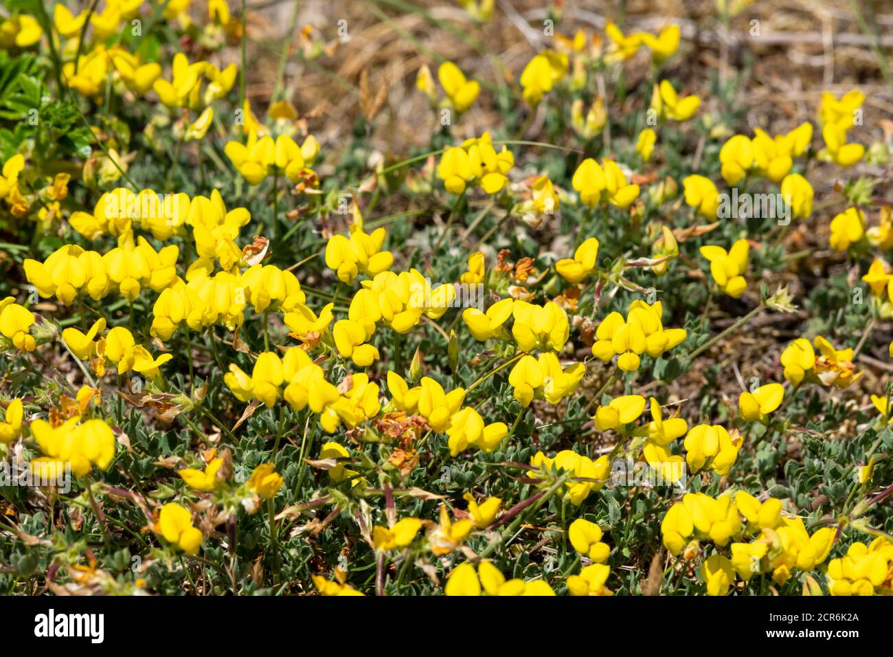Germany, Lower Saxony, Juist, gorse (Genista) subfamily of the butterflies (Faboideae). Stock Photo
