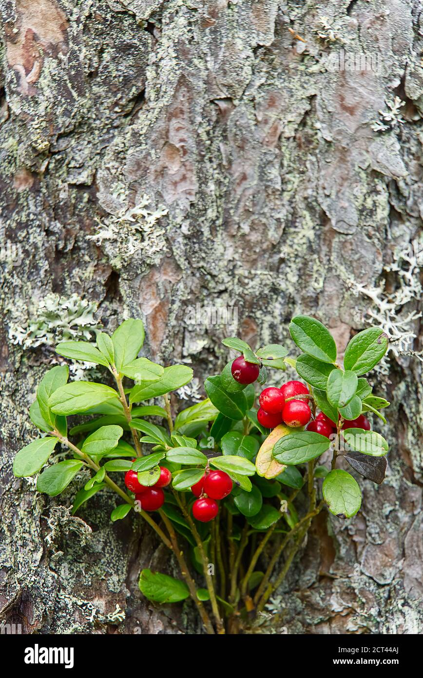 Cowberries High Resolution Stock Photography and Images   Alamy
