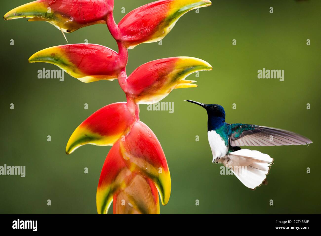 White-necked Jacobin (Florisuga mellivora aka Collared Hummingbird) Boca Tapada, Alajuela Province, Costa Rica Stock Photo