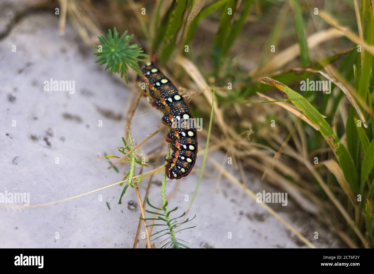 A black and red caterpillar with white dots on the back is eating a leaf (Marche, Italy, Europe) Stock Photo