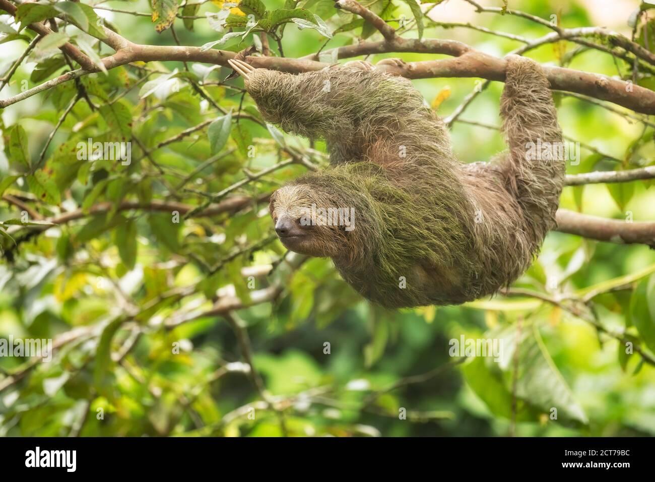 Brown-throated three-toed sloth (Bradypus variegatus) in rainforest habitat, Costa Rica Stock Photo