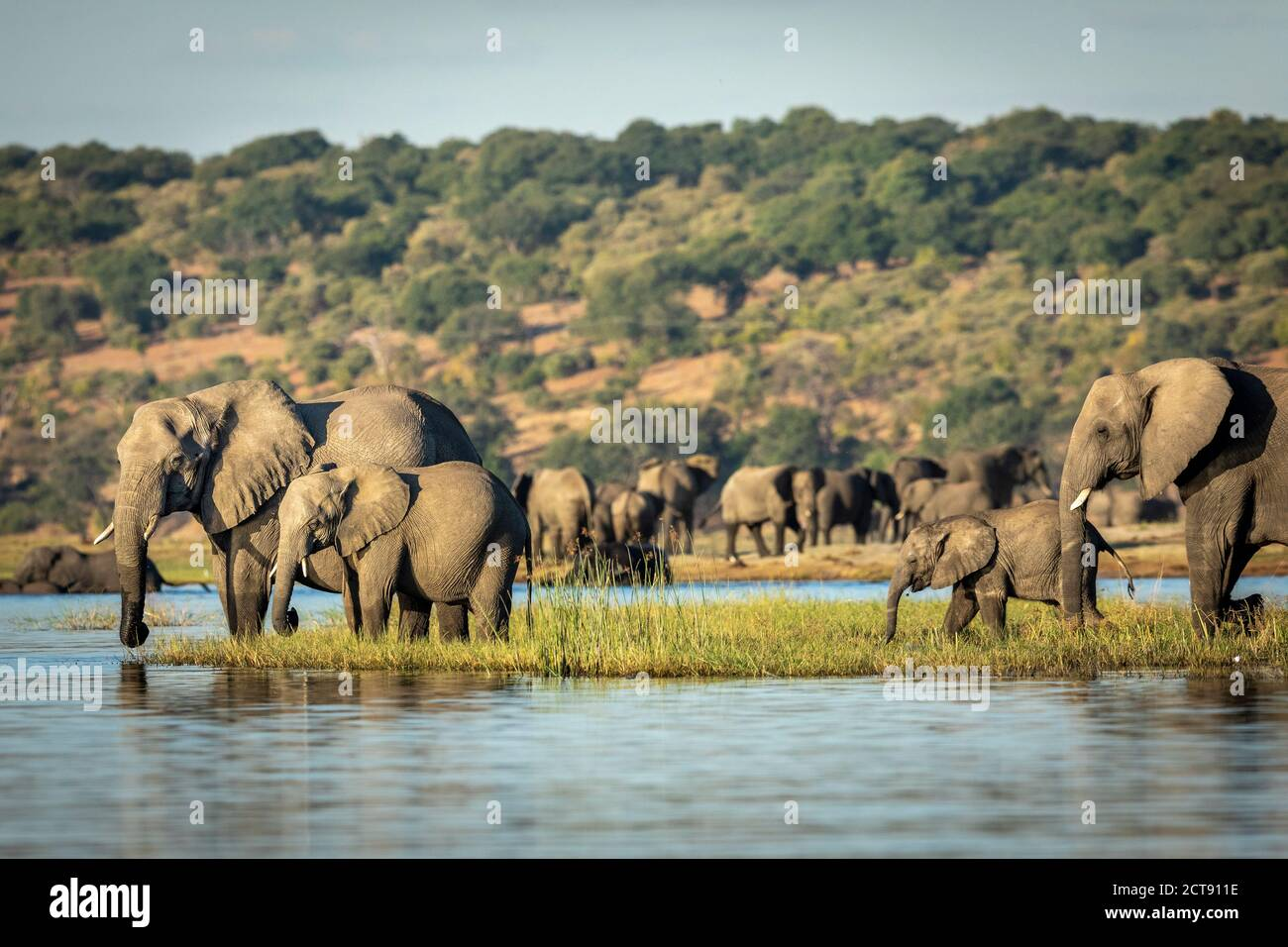 Elephants standing on a grassy bank of Chobe River drinking water in late afternoon in Botswana Stock Photo