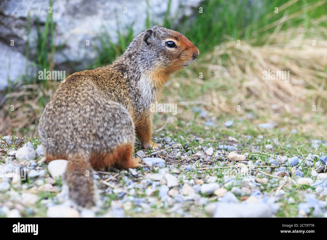Canada, Alberta, Rocky Mountains, Jasper National Park, Banff Nationalpark, Columbian ground squirrel (Urocitellus columbianus) Stock Photo