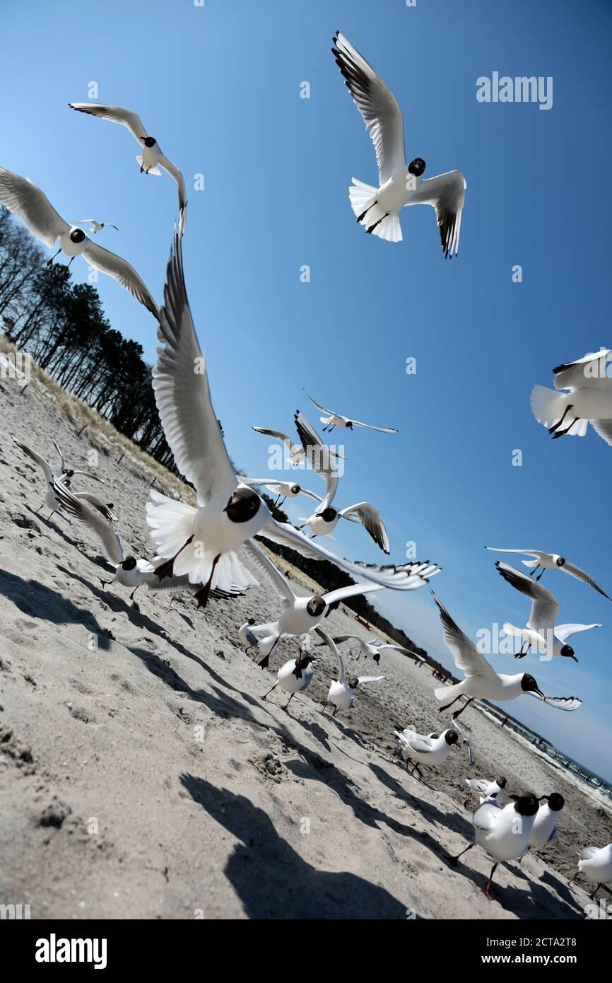 Germany, Mecklenburg-Western Pomerania, Seagull flying against beach Stock Photo