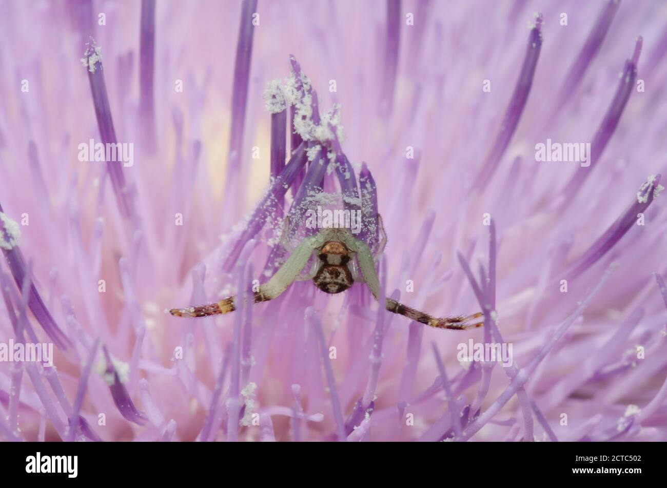 Crab Spider, Mecaphesa sp., lurking in Tall Thistle, Cirsium altissimum Stock Photo