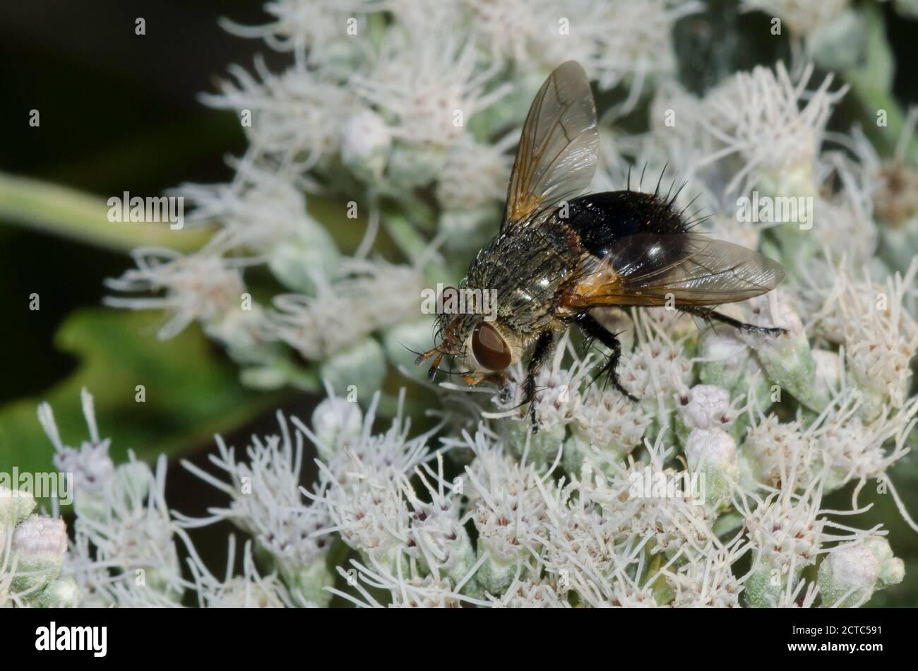 Tachinid Fly, Family Tachinidae, foraging on Lateflowering Thoroughwort, Eupatorium serotinum Stock Photo