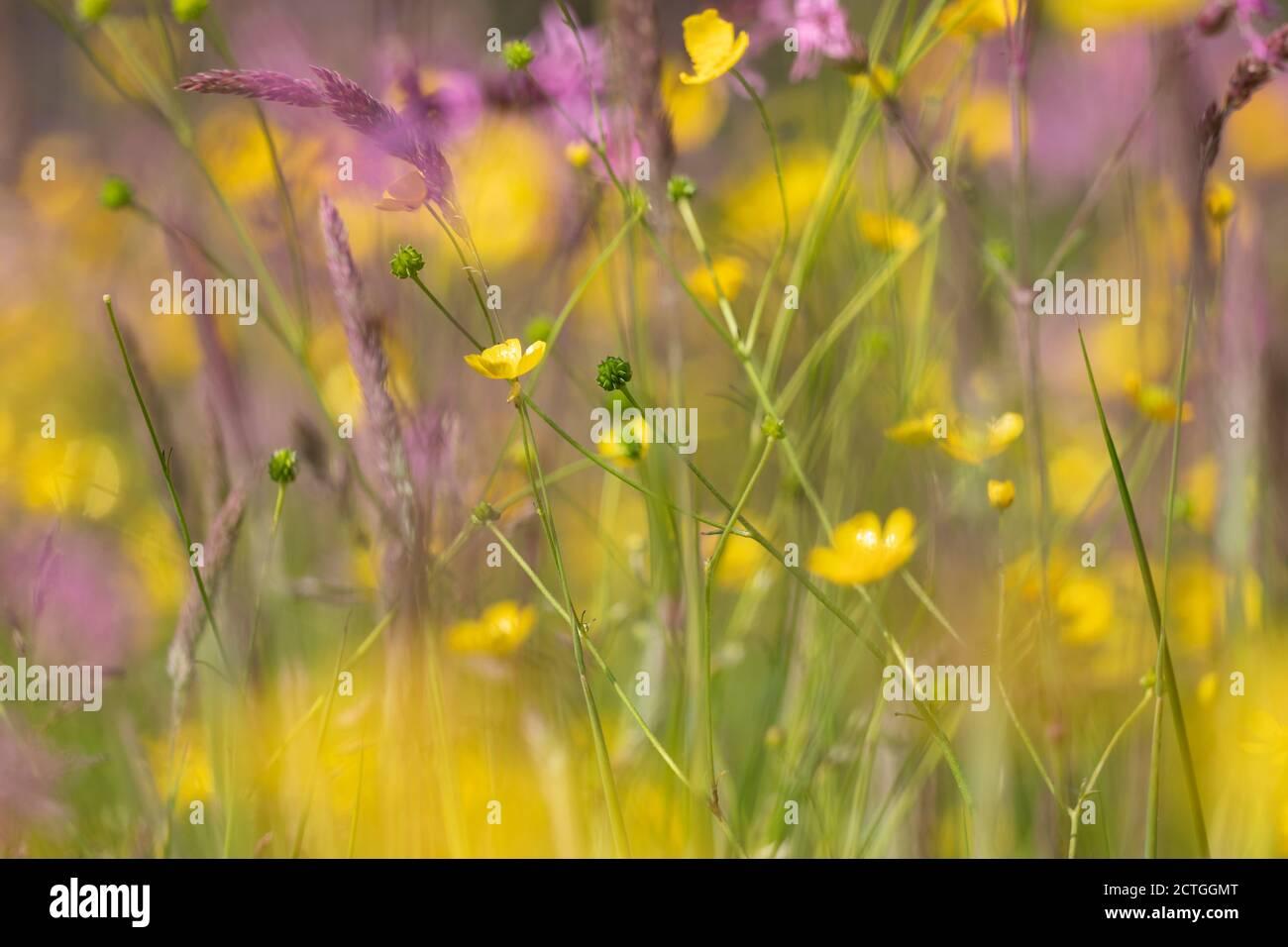 Wet flower-rich meadow, Kielder Water & Forest Park, Northumberland, UK Stock Photo