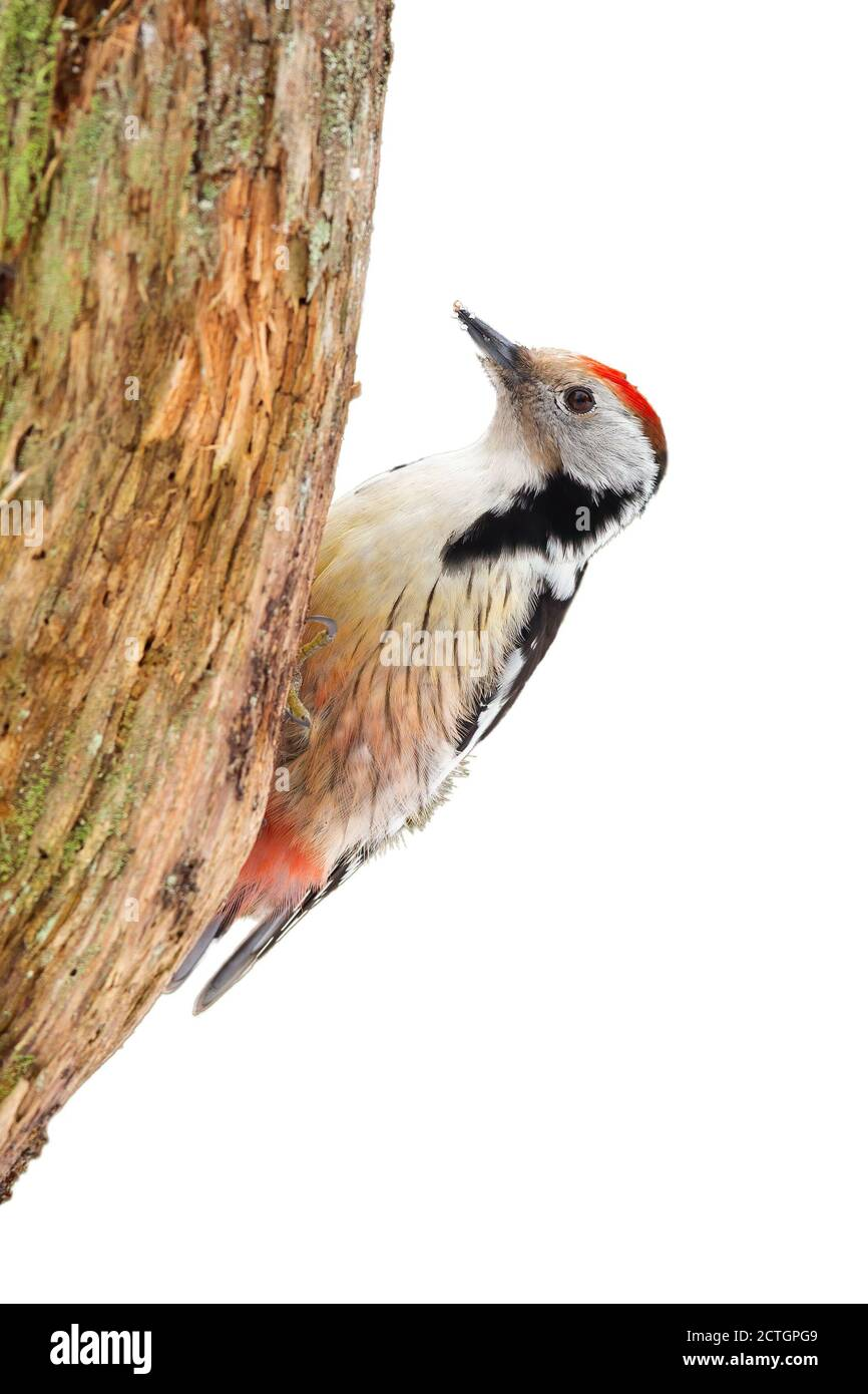 Middle spotted woodpecker sitting on tree cut out on blank. Stock Photo