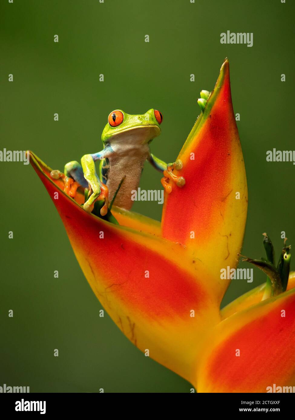 Agalychnis callidryas, known as the red-eyed treefrog, is an arboreal hylid native to Neotropical rainforests. Taken in Costa Rica Stock Photo