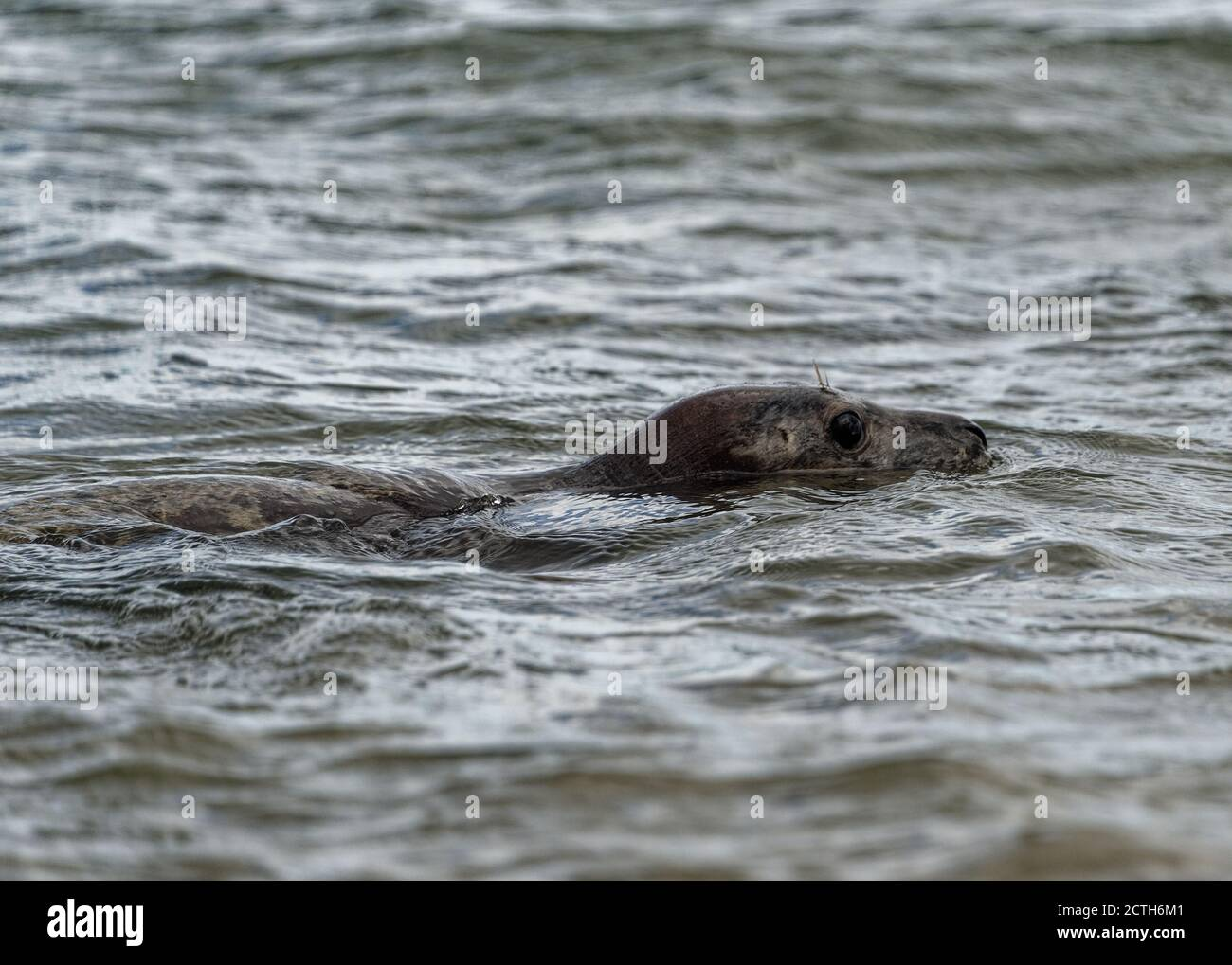 Grey Seal (Halichoerus grypus) Immature swimming with head above water. Stock Photo