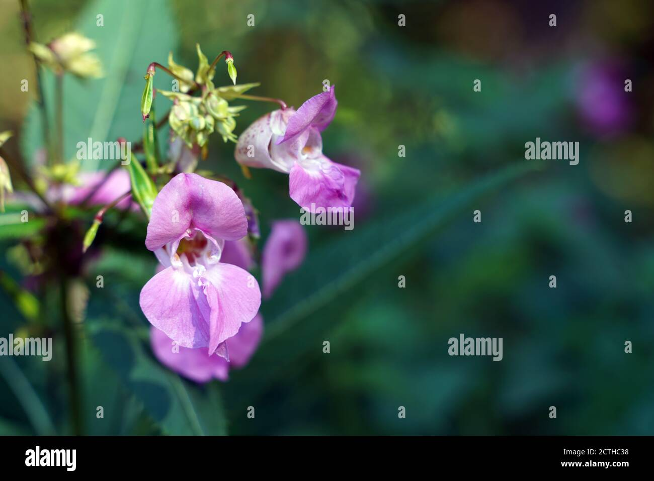 Pink flowering balsam at the edge Stock Photo