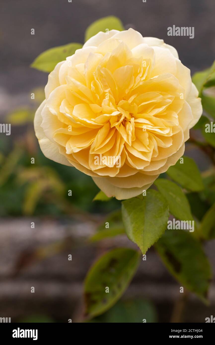 Yellow Rose Bush High Resolution Stock Photography And Images Alamy