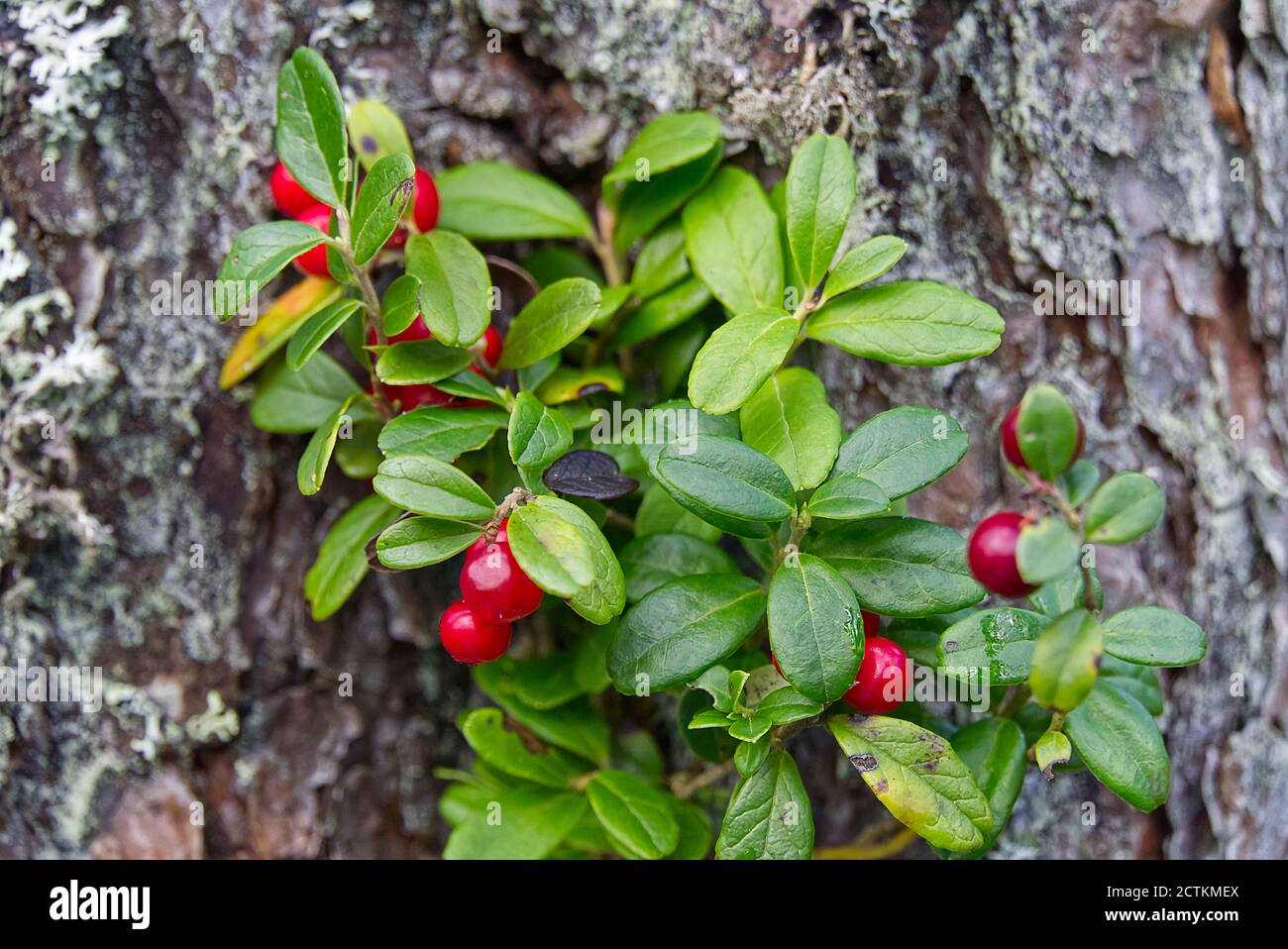 Cowberry Illustration High Resolution Stock Photography and Images ...