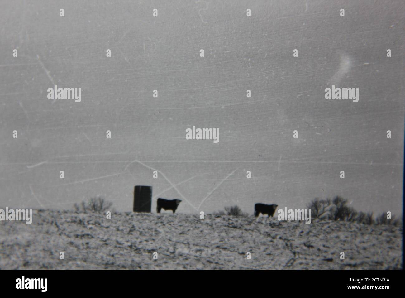 Fine 1970s vintage black and white photography of cows standing in the pasture. Stock Photo