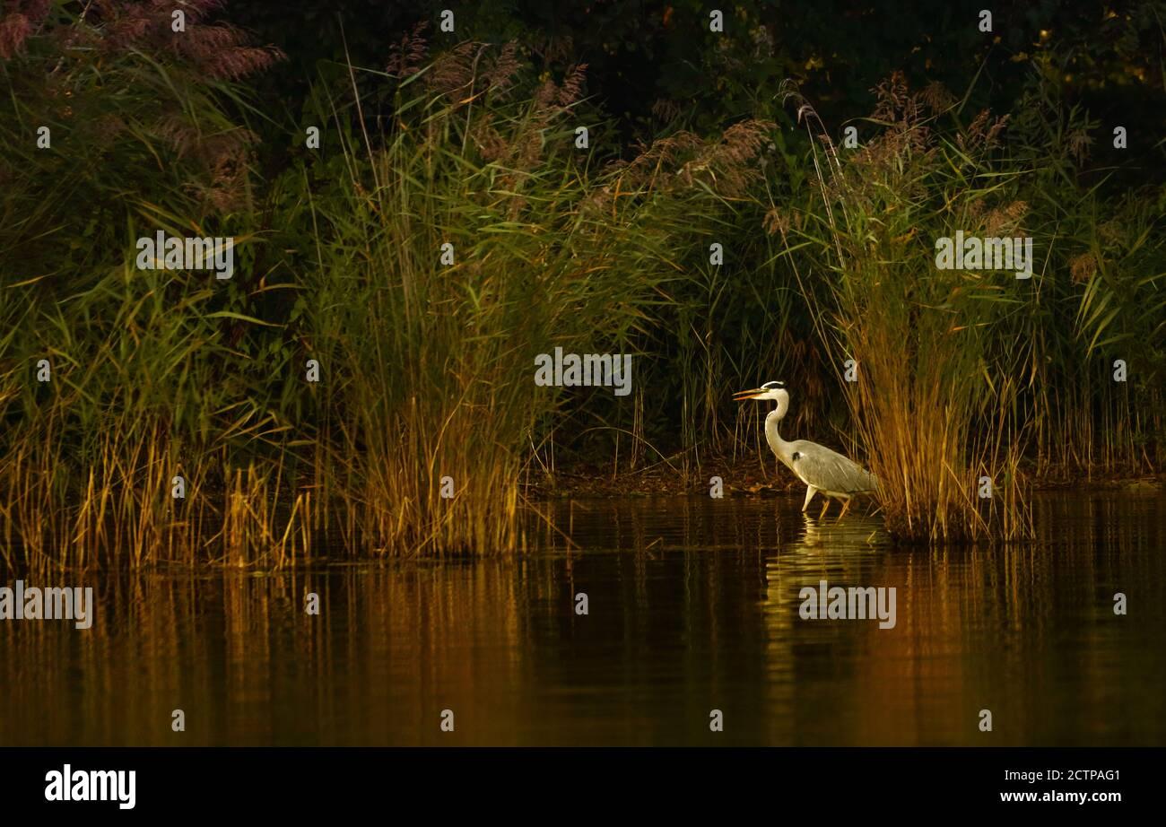 "The grey heron is standing in the lake ""Kellersee"". Stock Photo"