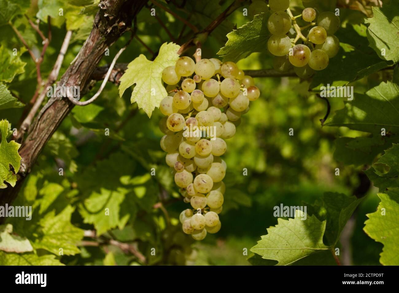 Grapevines at the Denbies Vineyard Estate in Surrey, UK Stock Photo