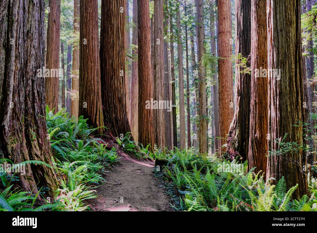 Bright green ferns on forest floor contrast with very tall, thick and straight trunks of California's mighty Redwoods as seen along a hiking trail Stock Photo