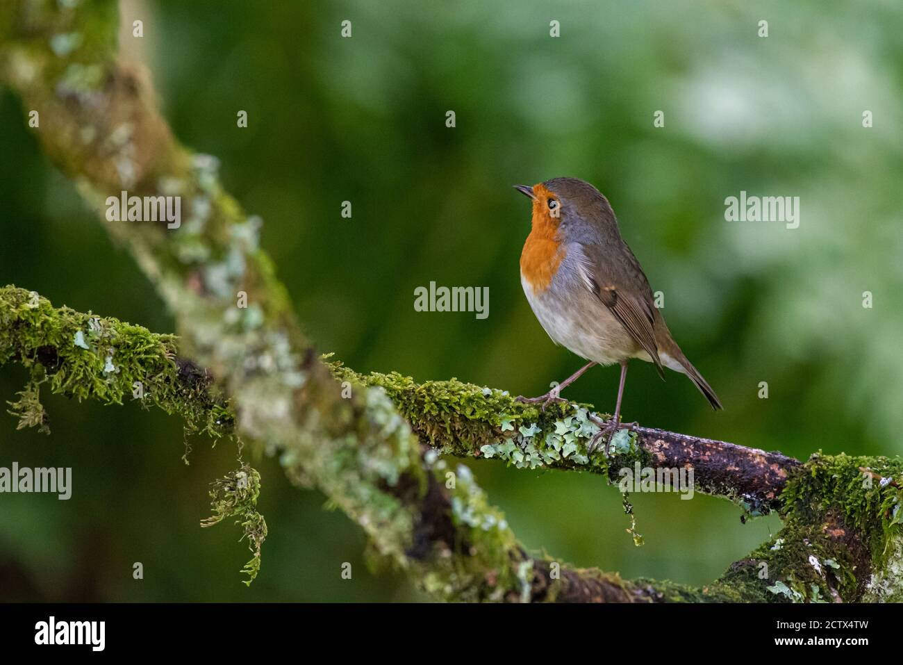 A robin, erithacus rubecula, sitting perched on a branch in a garden bush in Scotland Stock Photo