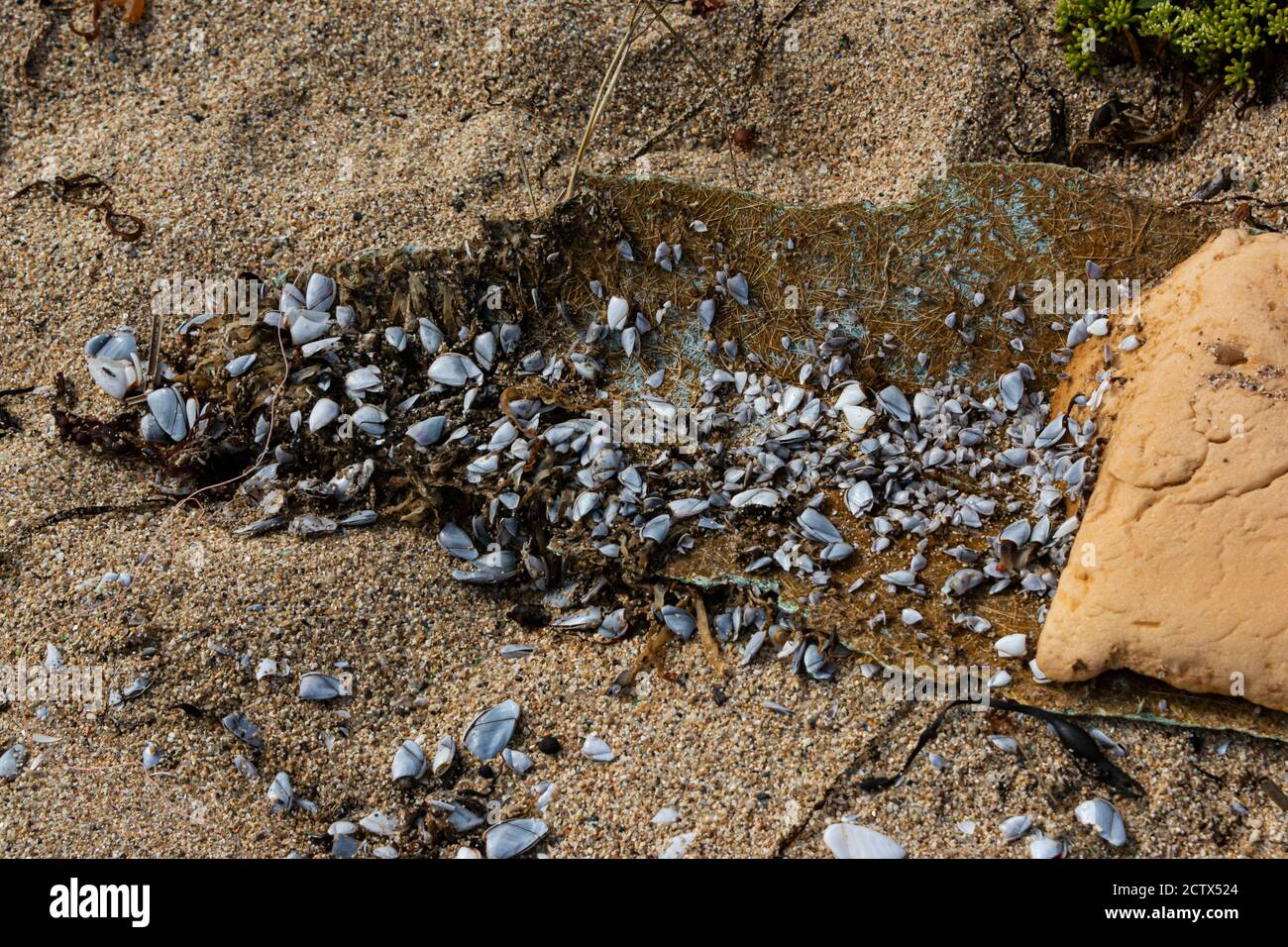 Common goose barnacles (Lepas anatifera) on fibreglass washed up on a beach Stock Photo