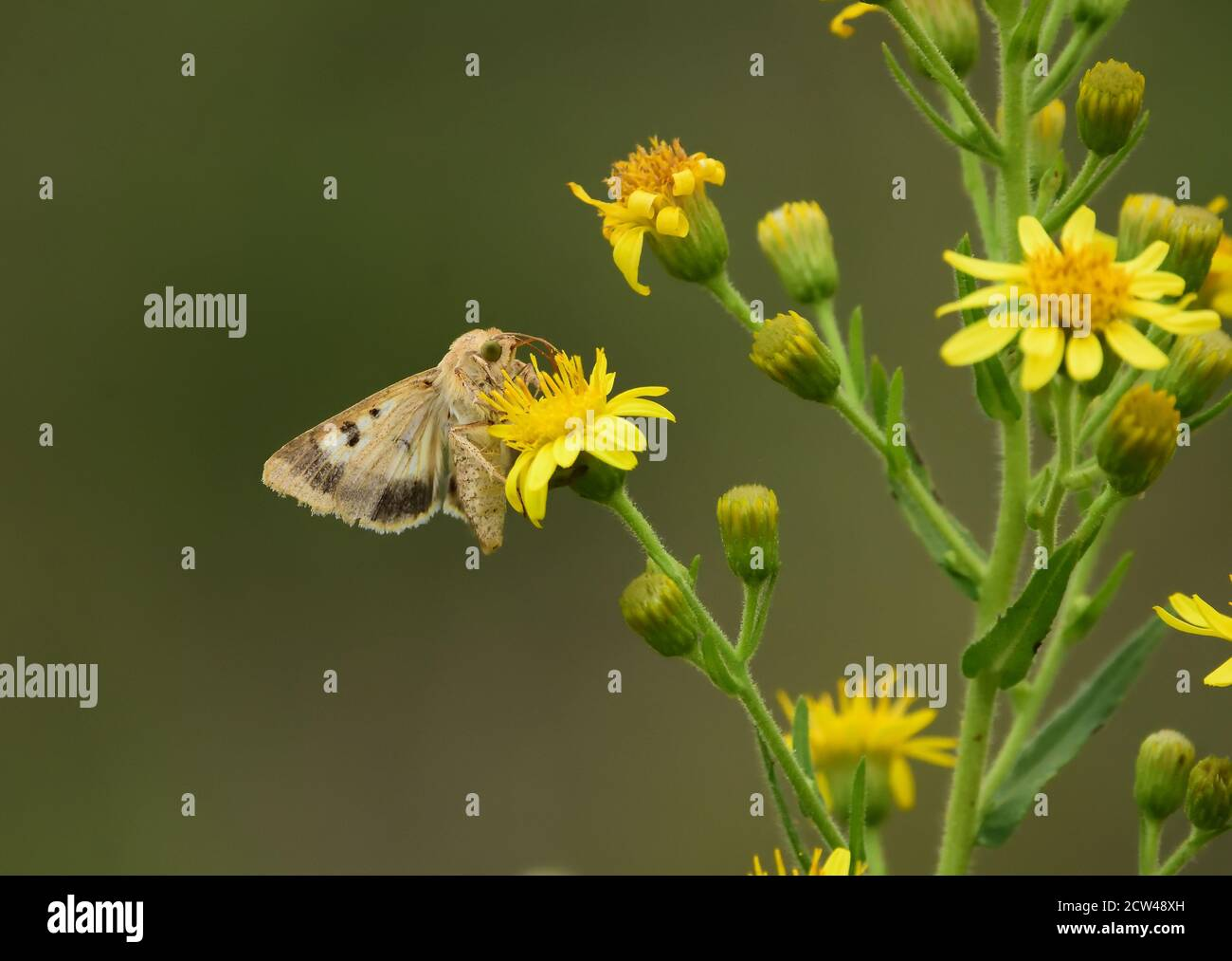 Isolated butterfly of the species Cotton bollworm, corn earworm (Helicoverpa armigera) or Old World (African) bollworm, on wild yellow flowers. Stock Photo