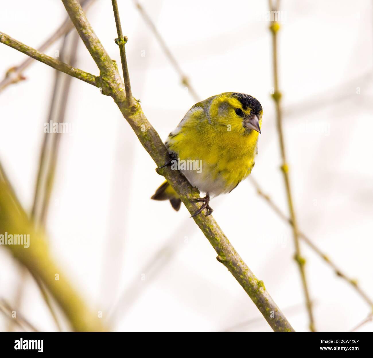 Closeup of a male siskin bird sitting on the brach of a tree Stock Photo