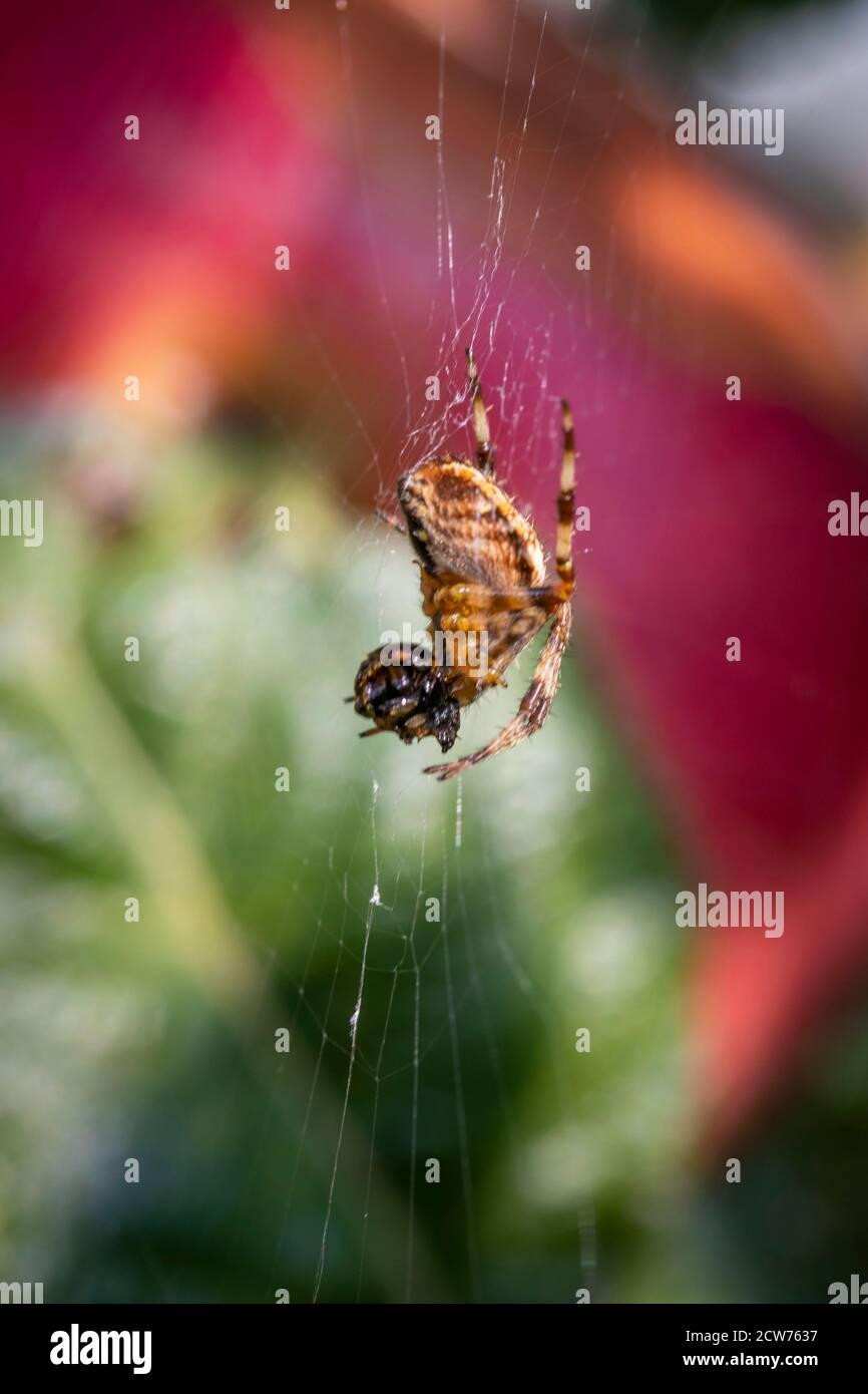 Spider with prey in web with out of focus apple in background, in a London urban garden Stock Photo