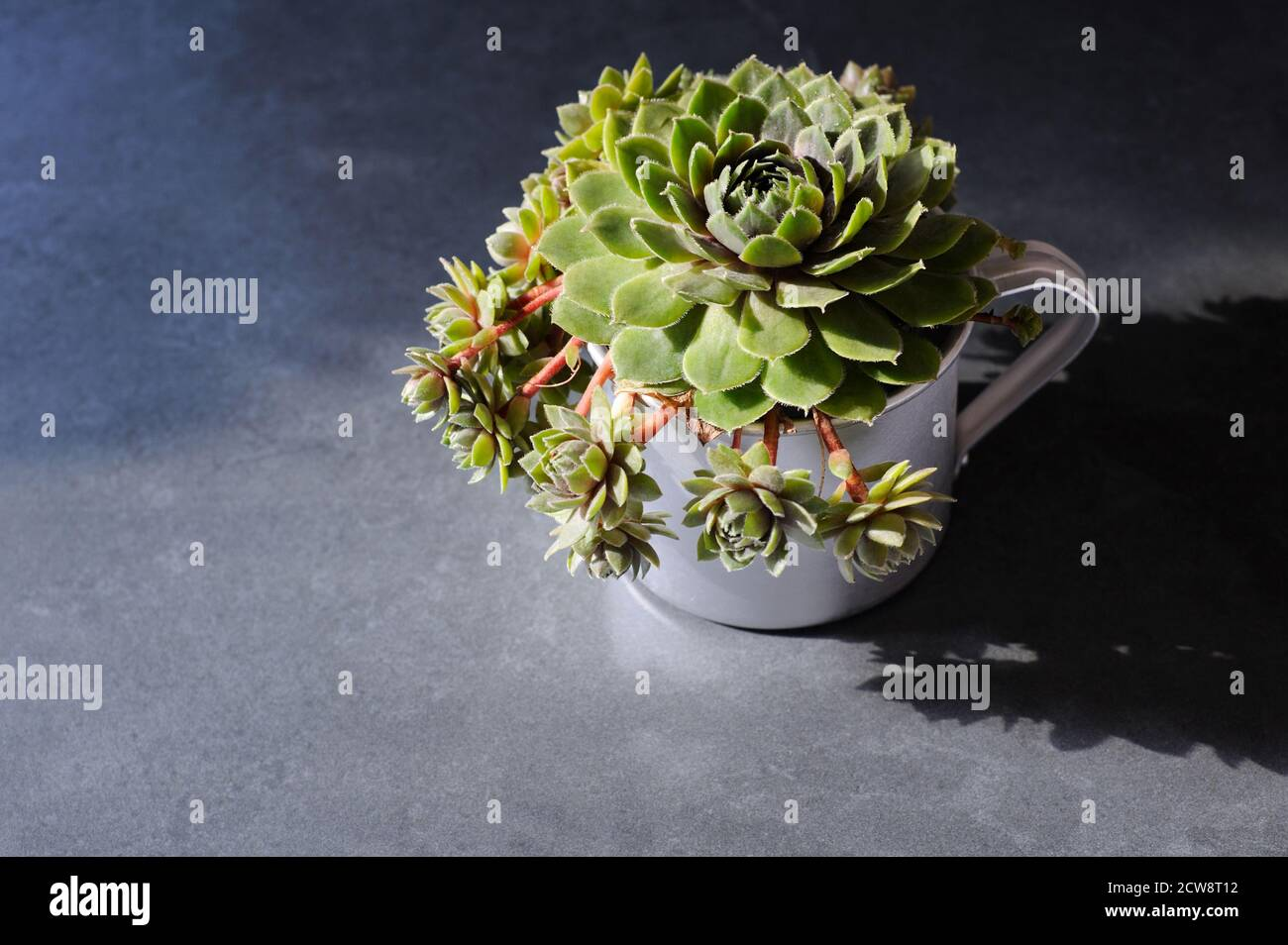 Homegrown succulent plant in the сup on the gray background with natural sunlight and hard shadows.Horizontal orientation with place for text. Stock Photo