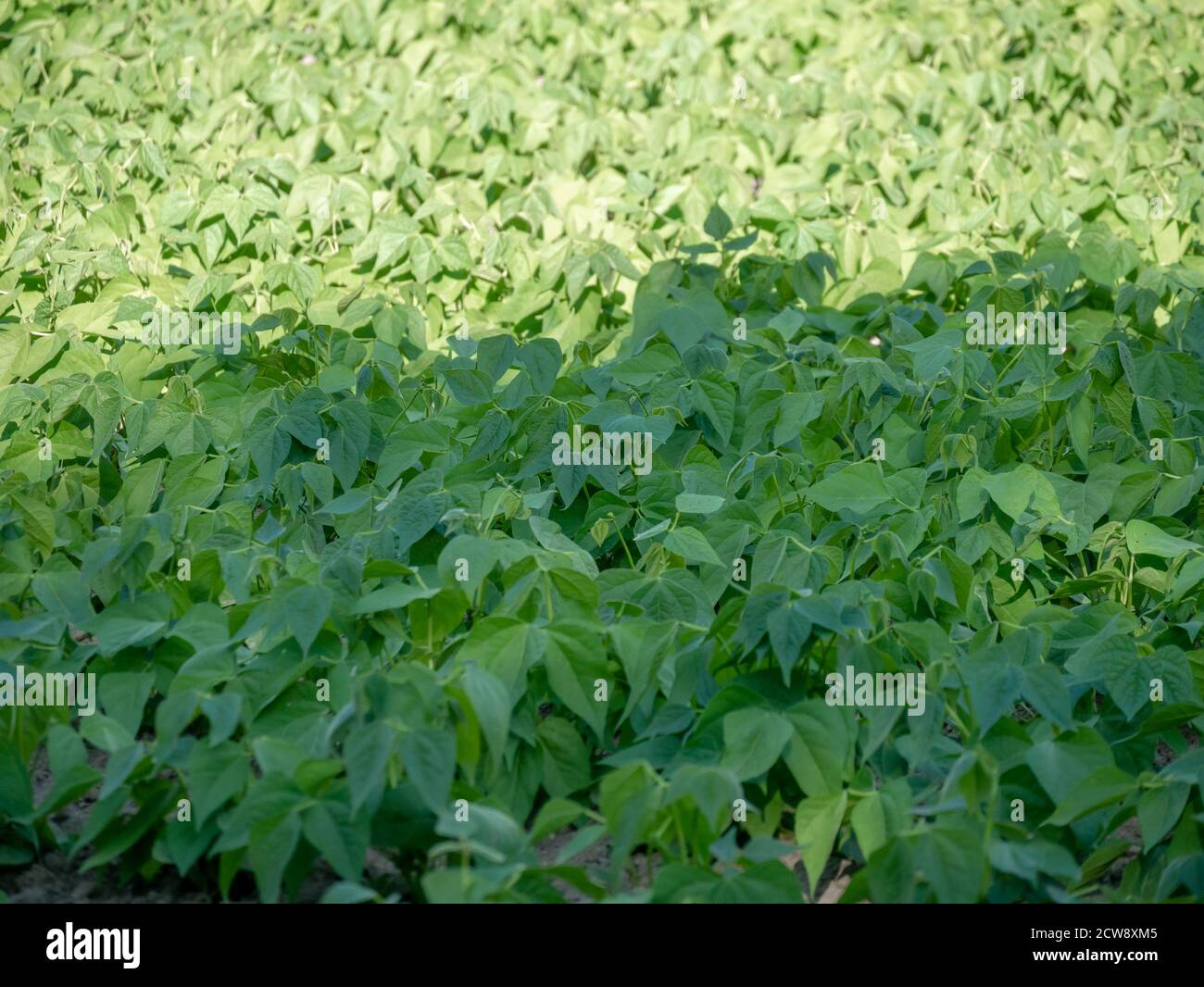 sowing small bean plants, fifteen days old, sunny day Stock Photo