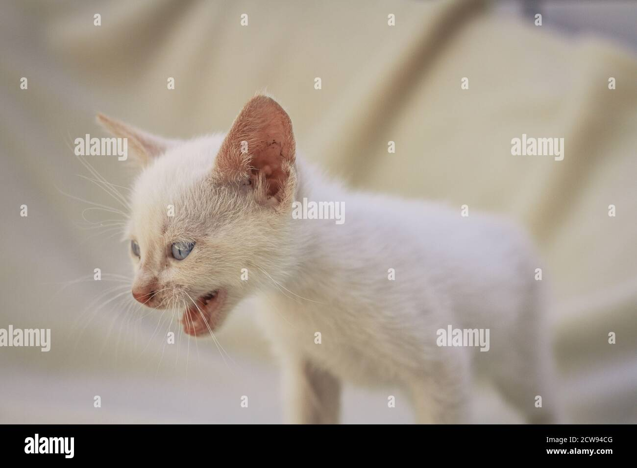 White fluffy puppy cat meowing Stock Photo