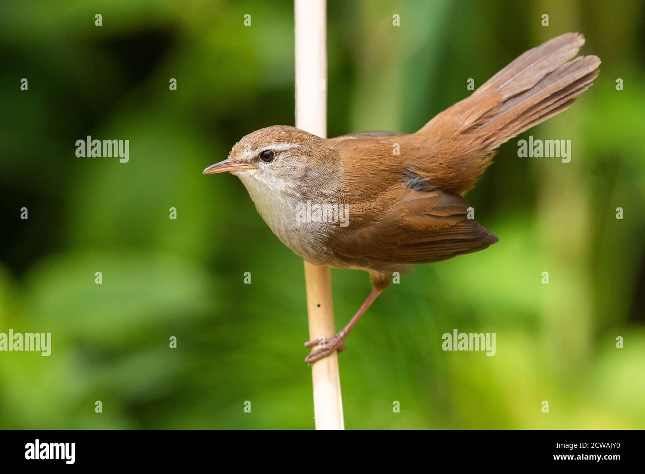Cetti's Warbler (Cettia cetti), adult displaying from a reed, Campania, Italy Stock Photo