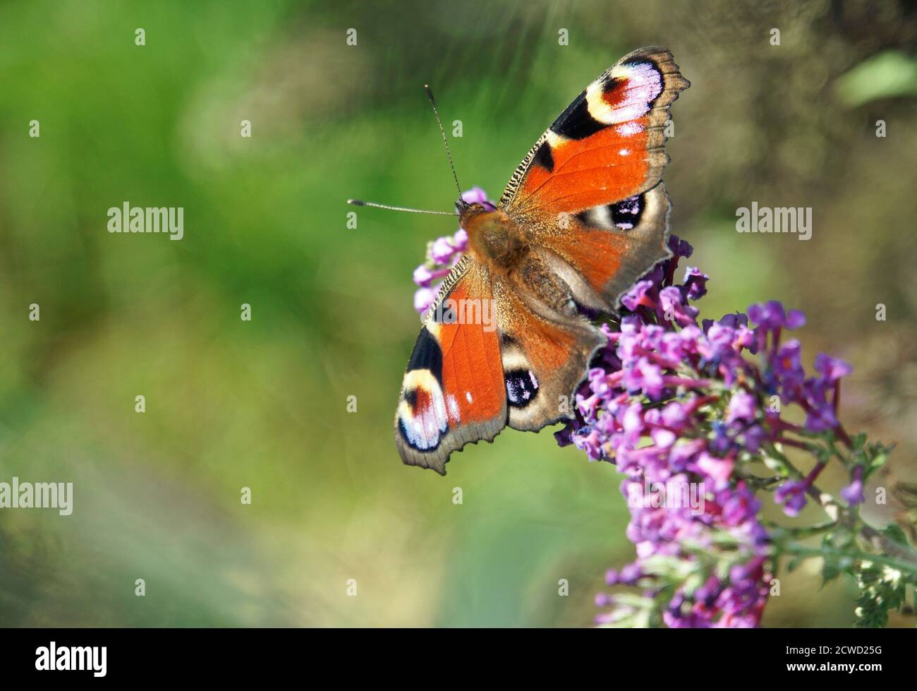 Bright, beautiful butterfly with eyes on the wings on a purple flower. The butterfly is a Peacock butterfly. The flower is part of a Butterfly bush. Stock Photo