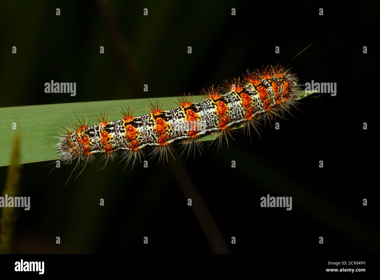 Close up macro lens image of Lymantria dispar dispar (Gypsy moth caterpillar) that has white cylindrical body with red warts and torn like spikes. Thi Stock Photo