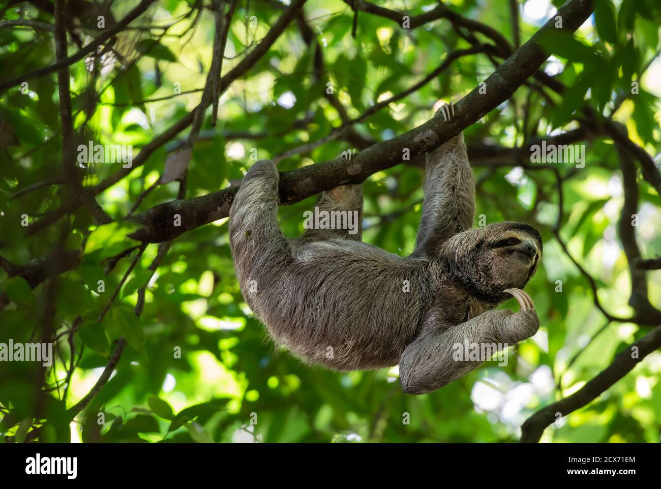 Funny sloth hanging on tree branch, cute face look, perfect portrait of wild animal, Rainforest of Costa Rica, scratching chin, Bradypus variegatus Stock Photo