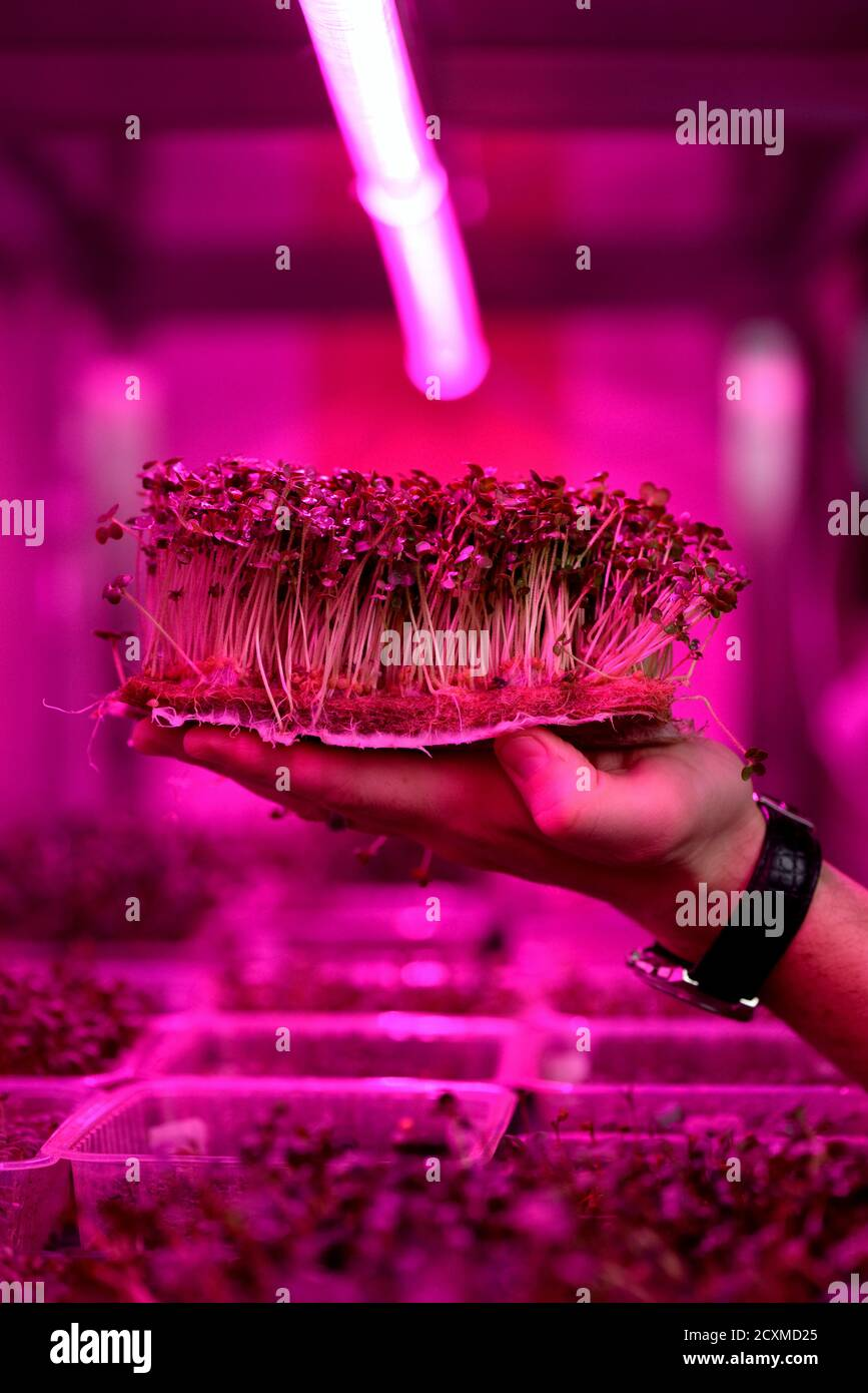 Modern home greenhouse or indoor mustard microgreens growing concept. Man hand with young plants on coconut coir in artificial light selective focus Stock Photo