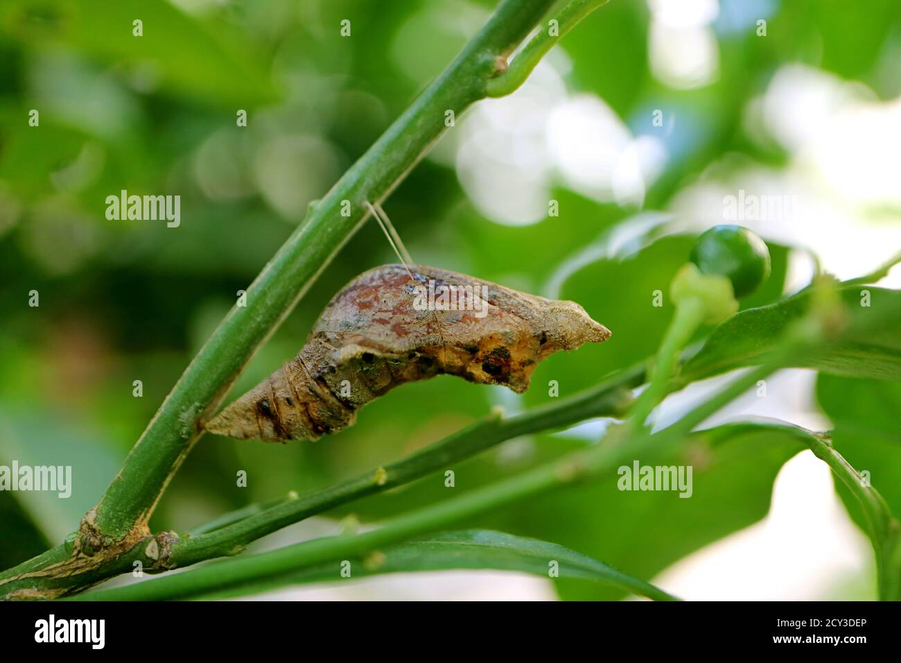 Lime Butterfly Pupa Suspended under a Branch of the Lime Tree Stock Photo