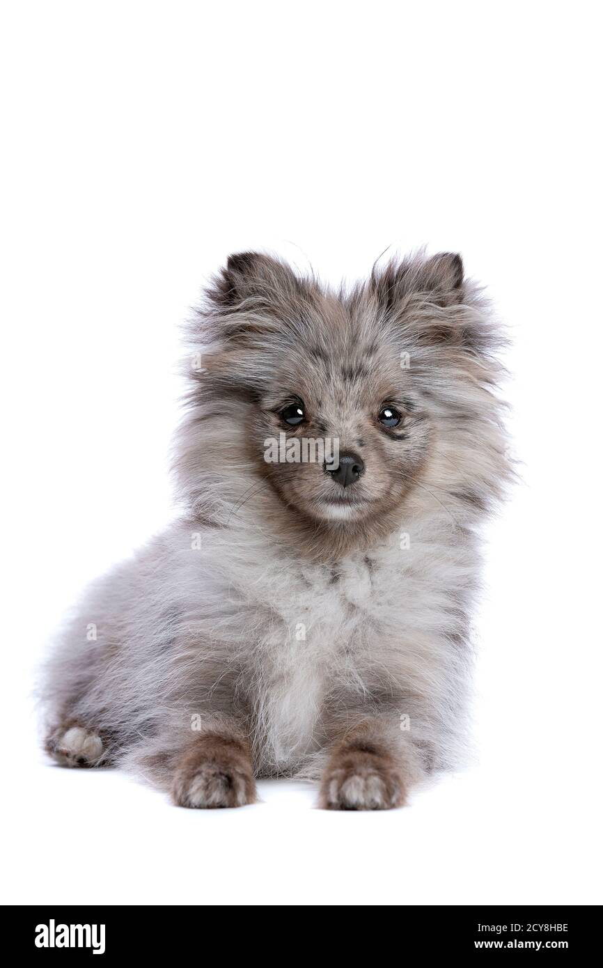 Blue Merle Pomeranian Dog In Front Of A White Background Stock Photo Alamy