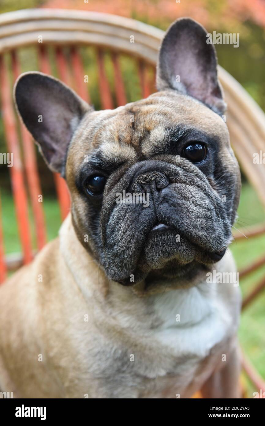 Funny French Bulldog Puppy Close Up Stock Photo Alamy