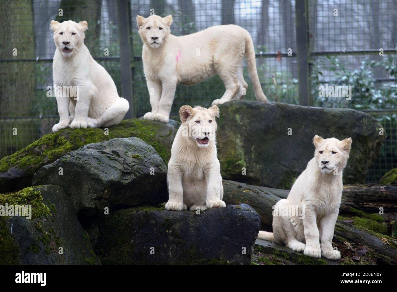 """Four rare white lion cubs, 10-month-old twin sisters Luna and Ilanga (top), 7-month-old Credo (C), and 10-month-old Bandhura (R) explore the fresh winter air for the first time ever at the Ouwehands Zoo in Rhenen February 11, 2011. The cubs arrived in Rhenen 10 weeks ago and are descendants of the white lions, which are only found in the Timbavati nature reserve in South Africa. The white lion is a Kruger lion with a colour gene mutation. The names Luna means Moon, Ilanga means Sun, Bandura means Beautiful and Credo is named after a South African shaman, Credo Mutwa, who also is known as the """" Stock Photo"""