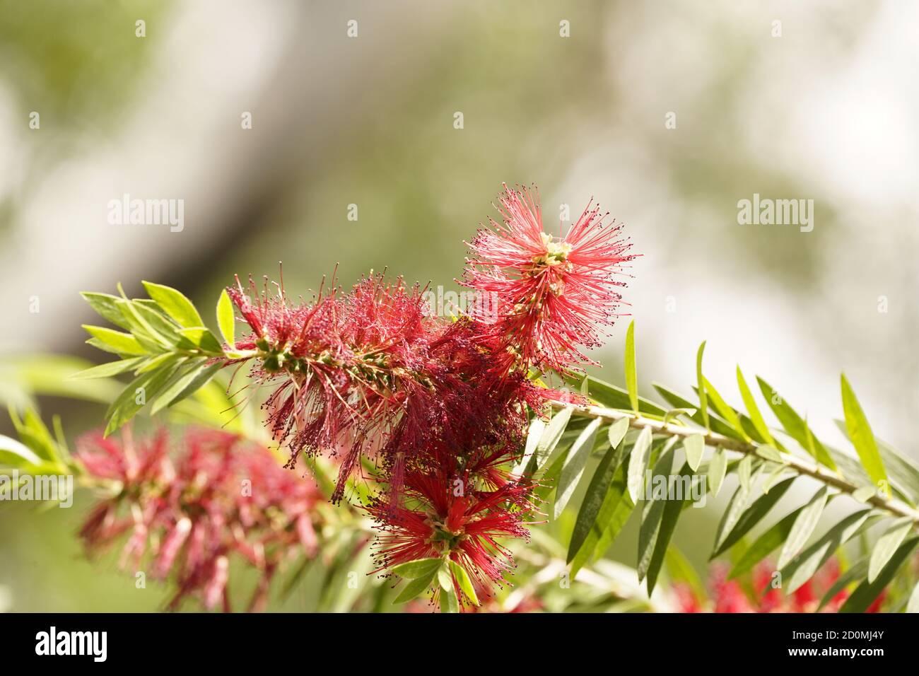 endemic to Australia the iconic red bottlebrushe shrub in flower Stock Photo