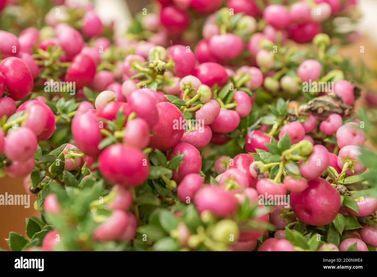Pernettya Berries.Pernettya Mucronata Evergreen Shrub With Pink Berries Autumn Plant In Clay Flower Pot Stock Photo Alamy