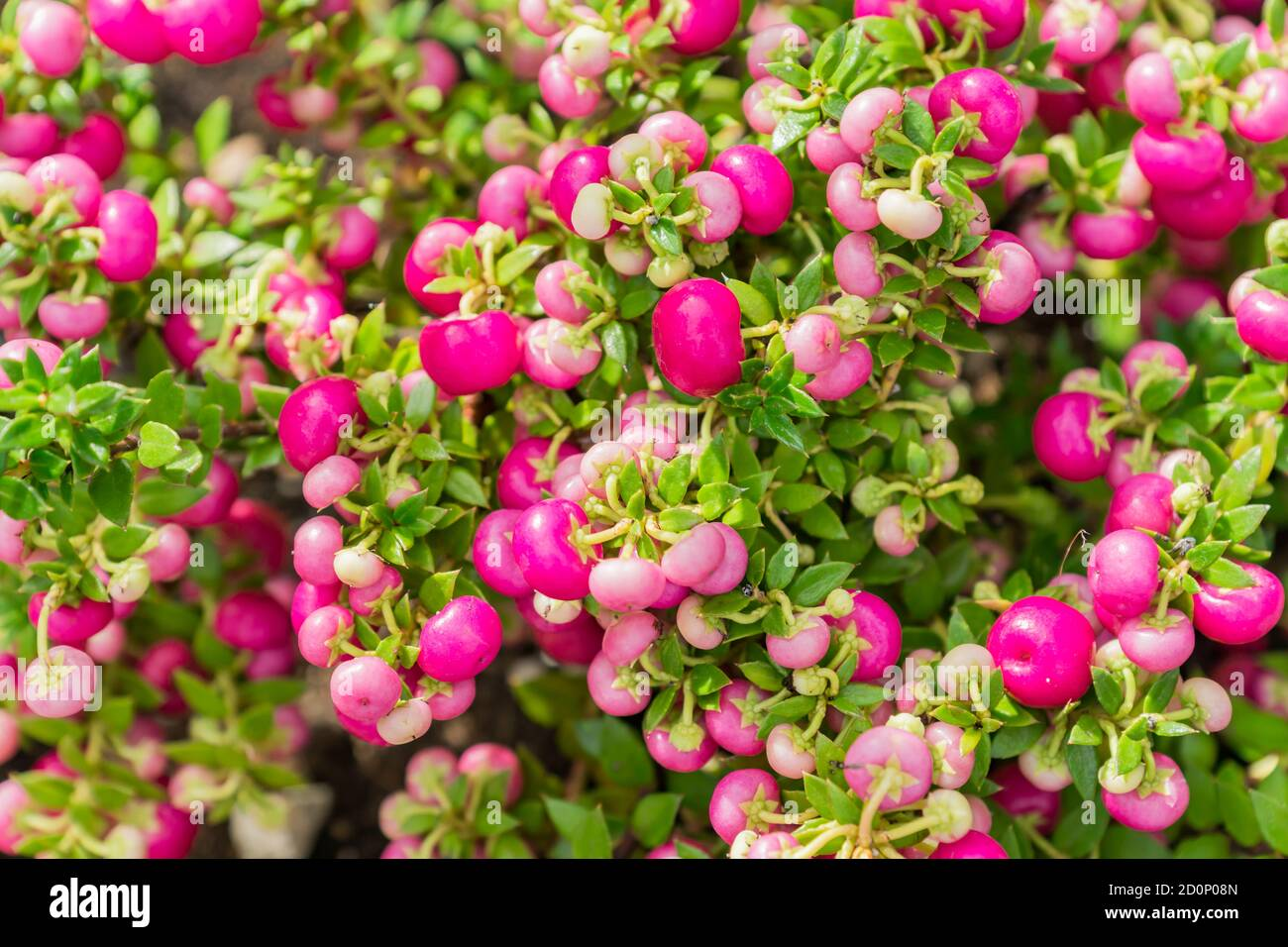 Pernettya Berries.Pernettya Mucronata Evergreen Shrub With Pink Berries Autumn Plant Background Stock Photo Alamy